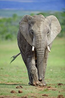Free Elephant Approach Royalty Free Stock Image - 17706726