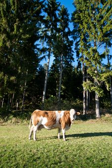 Free Cow On An Idyllic Pasture Royalty Free Stock Photography - 17708057