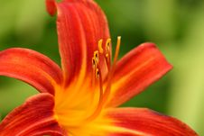 Free Lily - Lilium Stock Photography - 17708492