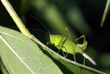 Free Grasshopper In The Grass Royalty Free Stock Photography - 17709257