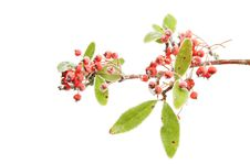 Free Frosted Pyracantha Royalty Free Stock Photography - 17709397