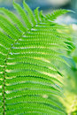 Free Green Leaves Of Wild Young Fern For Background Stock Photos - 17717933