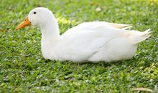 Free Duck Sits Royalty Free Stock Photos - 17713658