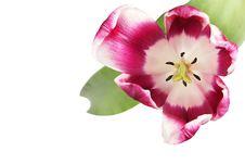 Free Beautiful Tulip Royalty Free Stock Photo - 17713785