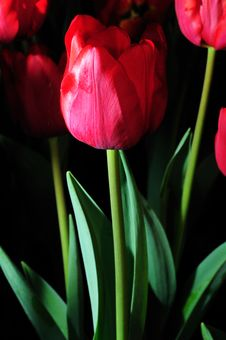 Free Red Tulip Stock Images - 17714364