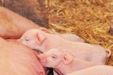 Free Baby Pigs Feeding With Mother Stock Image - 17714741