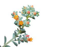 Free Herbaceous Perennial Royalty Free Stock Photos - 17715278