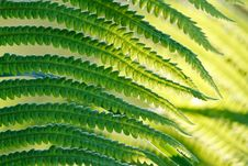Free Green Leaves Of Wild Young Fern For Background Royalty Free Stock Photography - 17717947