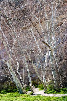 Birch Trees At Montezuma S Castle, Arizona Royalty Free Stock Photos