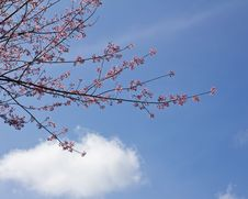 Free Pink Sakura Flower And Blue Sky Stock Photo - 17719050