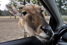 Free Antelope Royalty Free Stock Image - 17719846