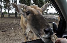 Free Antelope Stock Image - 17719851