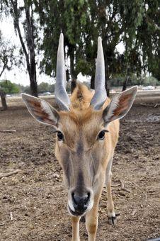 Free Antelope Royalty Free Stock Photo - 17719885