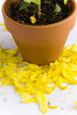 Free Potted Plant Shedding Flower Petals Royalty Free Stock Photo - 17724065