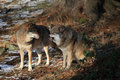 Free Wolves In Bavarian Forest Stock Images - 17725814