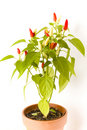 Free Bird S Eye Chili Pepper Plant In A Pot Royalty Free Stock Image - 17725846