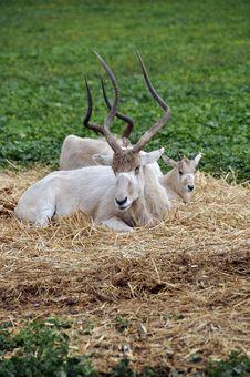 Free Antelope Royalty Free Stock Photo - 17720075