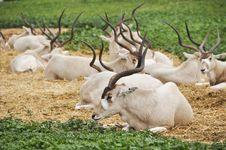 Free Antelope Stock Photos - 17720093