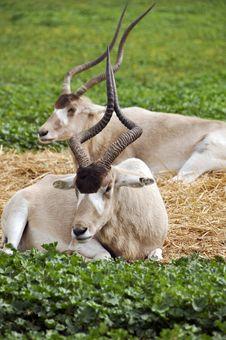 Free Antelope Royalty Free Stock Image - 17720116