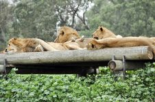 Free Lions Royalty Free Stock Photos - 17720128