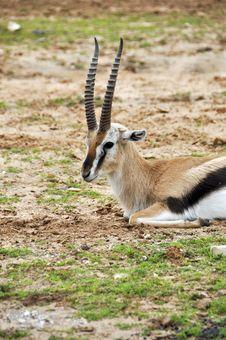 Free Antelope Stock Photos - 17720133