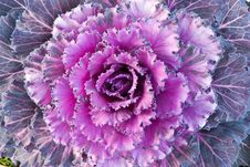Free Red Decorative Cabbage Stock Photos - 17721493