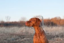 Free Sitting Vizsla Dog In The Spring Stock Images - 17721644