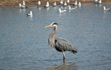 Great Blue Heron Wading In A Suburban Pond Stock Photo