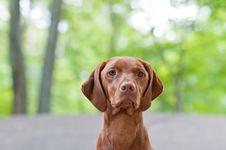 Vizsla Dog (Hungarian Pointer) Portrait Stock Photo