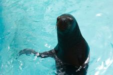 Sea Lion In Pool Stock Image