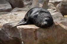 Free Sea Lion Sleep On The Rock. Royalty Free Stock Images - 17722279