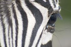 Free Zebra Close Up Stock Images - 17722964