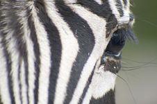 Zebra Close Up Stock Images