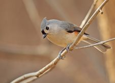 Free Tufted Titmouse, Baeolophus Bicolor Royalty Free Stock Images - 17723839