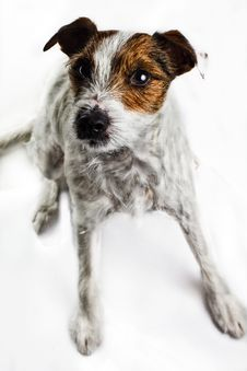 Dog - Jack Russel Terrier Royalty Free Stock Images