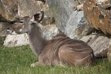 Free Greater Kudu Royalty Free Stock Image - 17724396