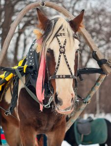 Free Horse Harnessed To A Sled Stock Photography - 17725252