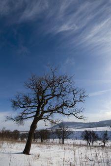 Free Oak Tree On Winter Peissage Stock Photo - 17726000