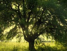Free Old Tree Stock Photography - 17726182