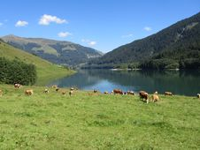 Free Cows & Lake Royalty Free Stock Image - 17726866