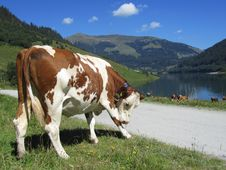 Free Cows & Lake Stock Image - 17726891