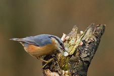 Free Nuthatch Feeding Stock Image - 17726931