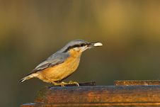 Free Nuthatch At A Feeder Stock Photos - 17726963