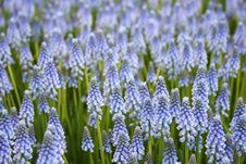 Free Blue Hyacinth Stock Image - 17727271