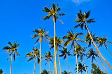 Free Coconut Trees , Samui , Thailand Royalty Free Stock Images - 17727639