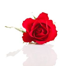 Free Valentine S Day Red Roses Isolated Royalty Free Stock Photography - 17727737