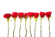 Free Valentine S Day Red Roses Isolated Royalty Free Stock Photo - 17727825