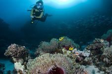 Diver Over Anemones And Clownfish Royalty Free Stock Photo