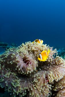 Free Two Clownfish Stock Images - 17728234