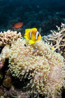 Clownfish Royalty Free Stock Image